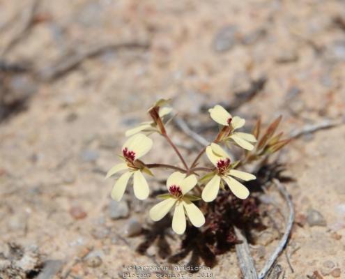 Pelargonium aridicola