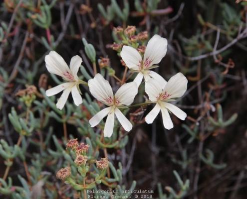 Pelargonium articulatum