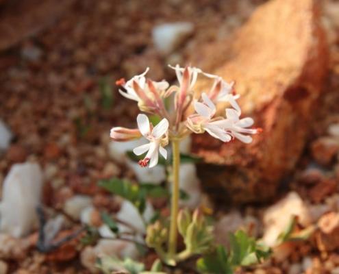 Pelargonium bubonifolium