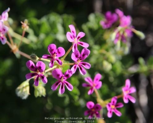 Pelargonium echinatum PURPLE form