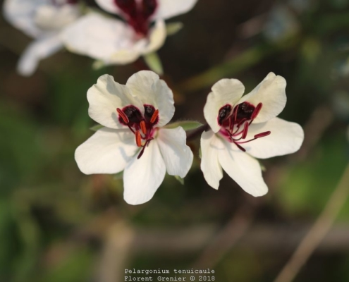 Pelargonium tenuicaule