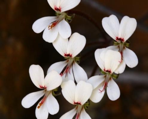 Pelargonium vinaceum